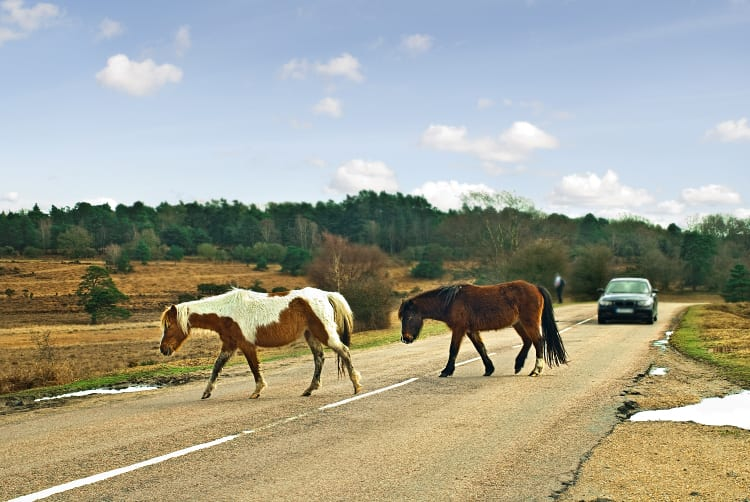 New Forest ponies crossing road SSP
