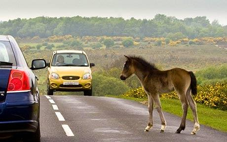 new forest pony blocking the road