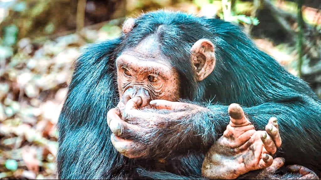 8 reasons why visit uganda chimpanzees in Kibale