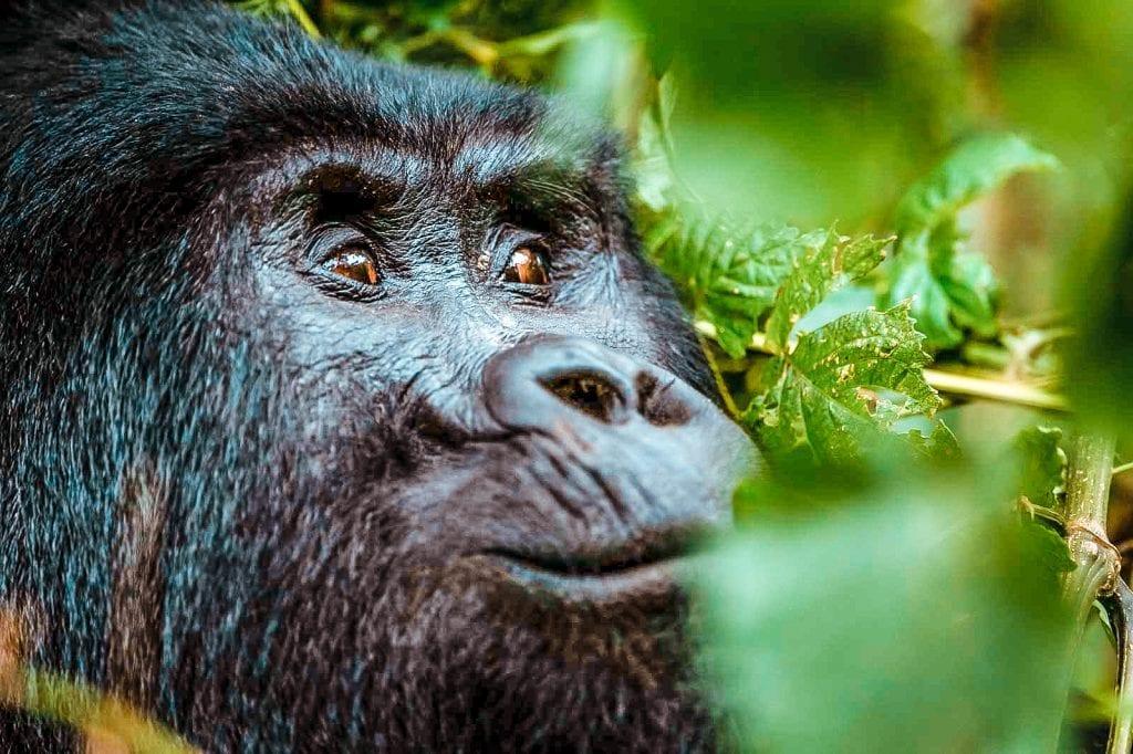 8 reasons why visit uganda gorillas