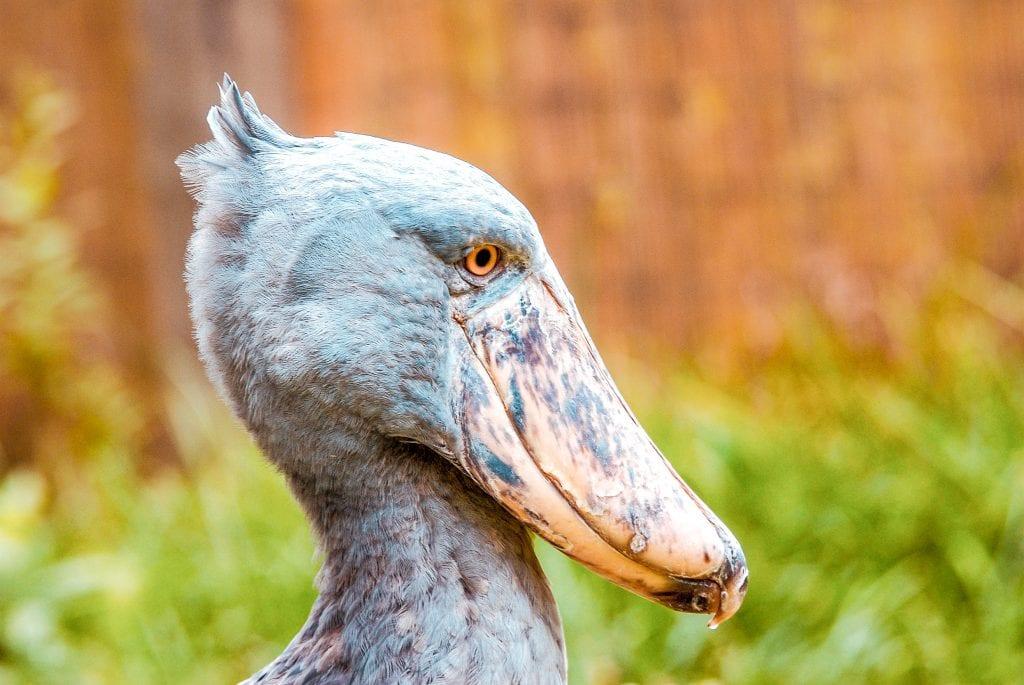 8 reasons why visit uganda tree shoebill