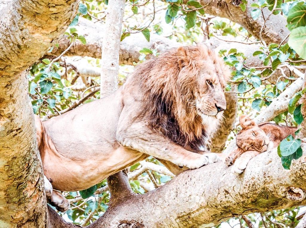 8 reasons why visit uganda tree climbing lion