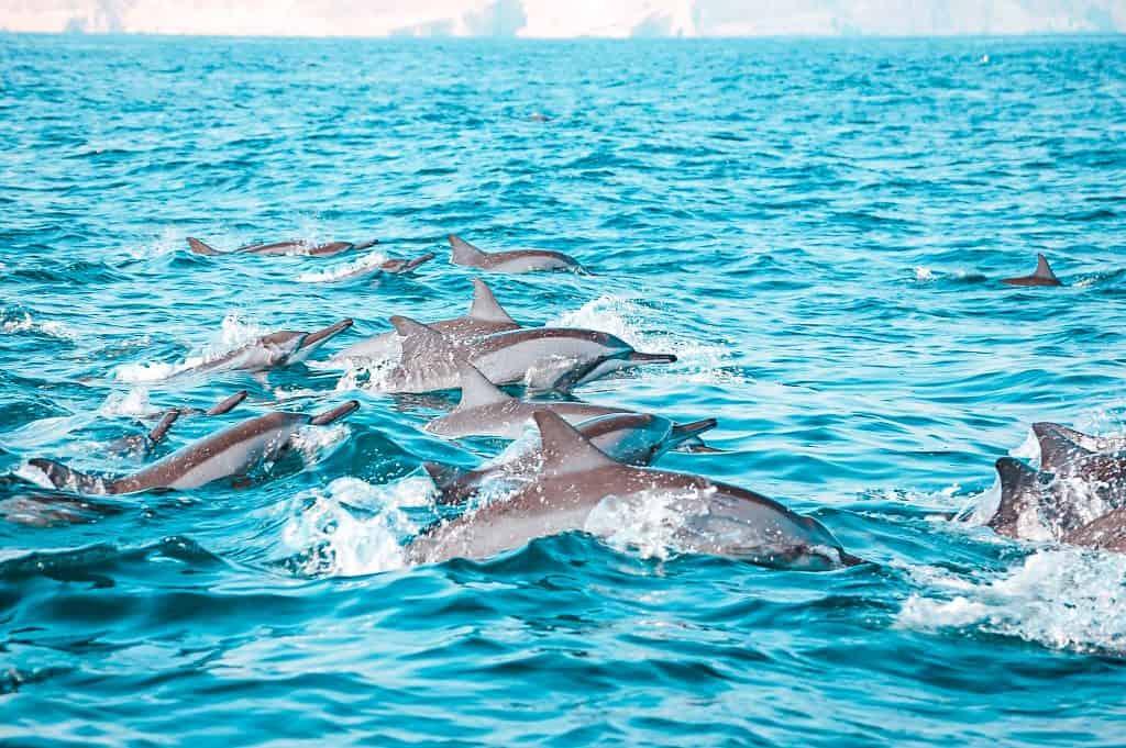 best boat tours dubai mussandam oman dolphins